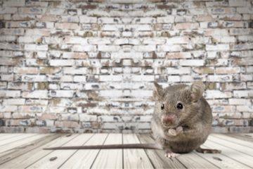 Ratte im Hotelzimmer kein Reisemangel